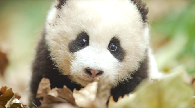 Born In China (2017), Baby Panda, Disneynature
