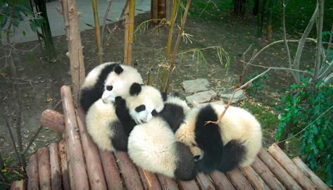 Pandas (2018).png