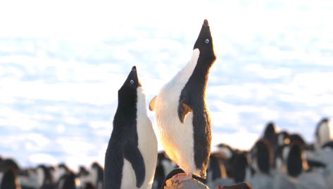 Penguins (2019),  Adélie Penguin
