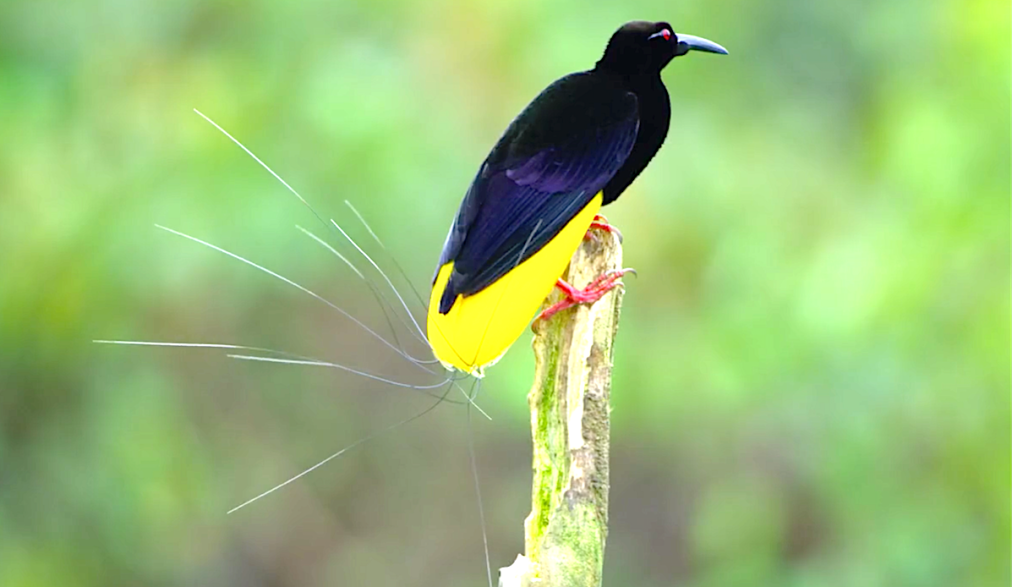 Dancing With The Birds (2019), Twelve Wired Bird Of Paradise, Netflix
